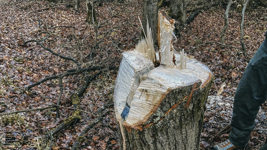 Abgesägter Baum